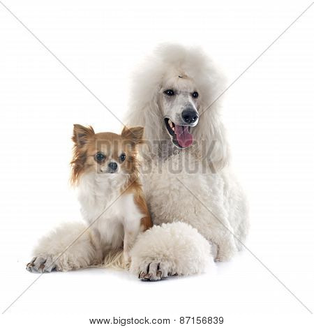 White Standard Poodle And Chihuahua