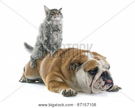 Maine Coon Kitten And English Bulldog