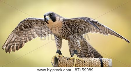 Peregrine Falcon Tethered To A Perch. The Largest Falcon Over Most Of The North American Continent,