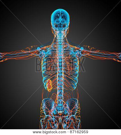 3D Render Medical Illustration Of The Lymphatic System