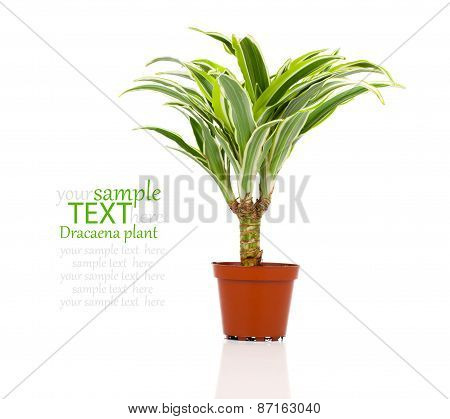Dracaena Fragrans (cornstalk Dracaena) Isolated On A White Background