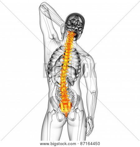 3D Render Medical Illustration Of The Human Spine