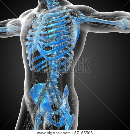 3D Render Medical Illustration Of The Human Skeleton