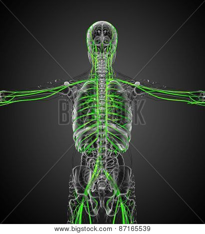 3D Render Medical Illustration Of The Vascular System