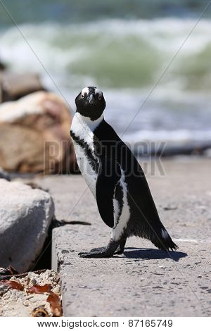 Jackass Penguin