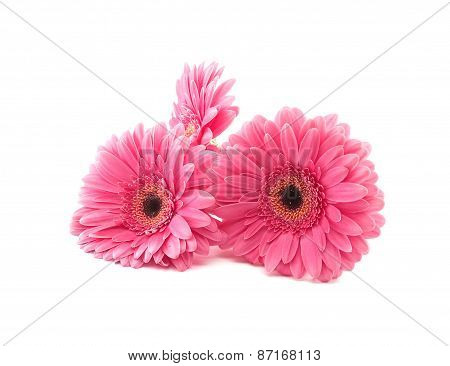 Pink Flowers Gerbera Isolated On A White Background.