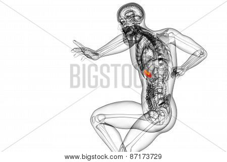 3D Render Medical Illustration Of The Spleen