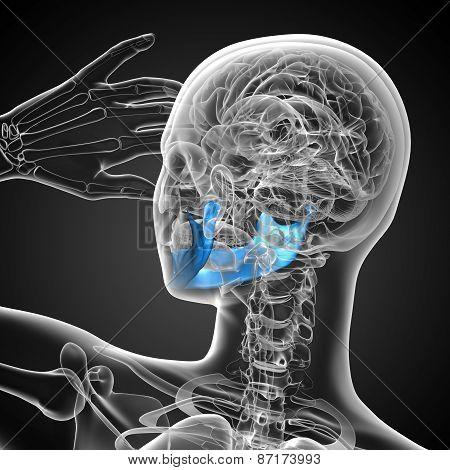 3D Medical Illustration Of The Jaw Bone