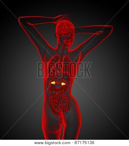 3D Render Medical Illustration Of The Human Adrenal Glands