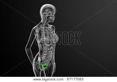 3D Render Medical Illustration Of The Reproductive System
