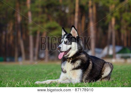 Siberian Husky is resting after jogging.