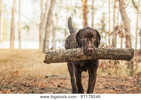 chocolate labrador carries a stick in the woods