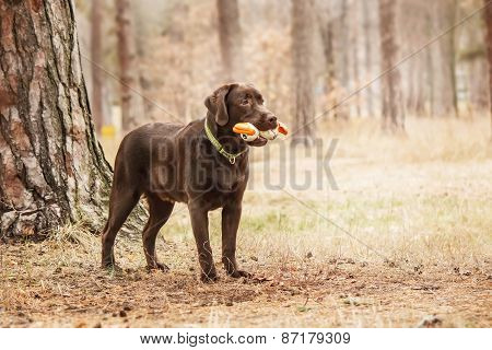 chocolate labrador standing in a forest