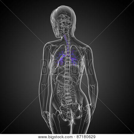 3D Medical Illustration Of The Male Bronchi