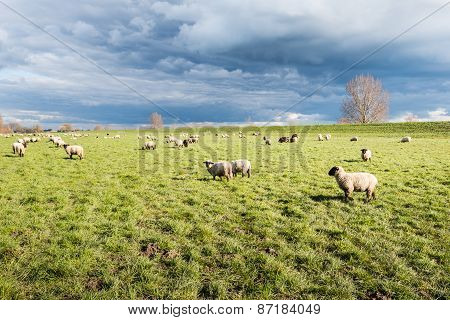 Grazing Sheep On Pasture Next To A Dike