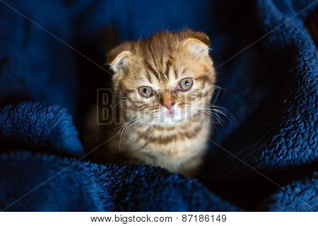 Scottish Kitten Is Sitting On Blue Cover