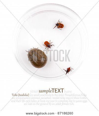 Tick (ixodes Ricinus)