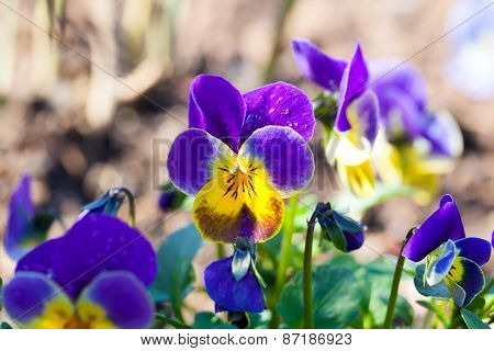Garden Pansy (pansies, Viola, Viola Tricolor) Is A Type Of Large-flowered Hybrid Plant Cultivated As