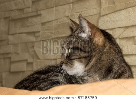 The Domestic Cat Is Lying On A Couch