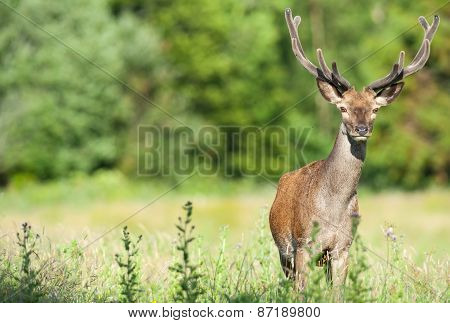 young red deer in a summer field