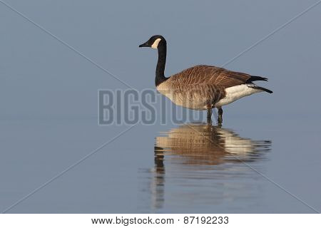 Canada Goose Standing In Shallow Water With Reflection