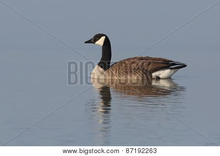 Canada Goose Swimming With Reflection