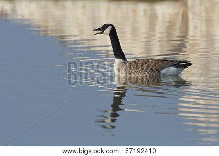 Canada Goose Calling In Early Spring With Reflection Of Lake Huron Ice In Background