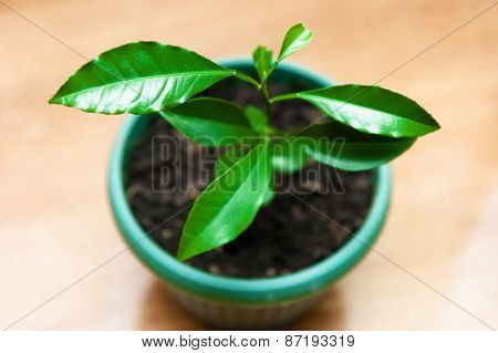 Plant In A Flower Pot. Lemon Tree