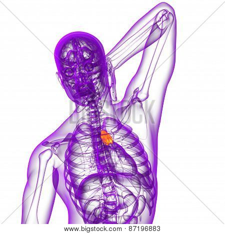 3D Render Medical Illustration Of The Thymus