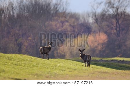 Two Red Deer On Spring Light