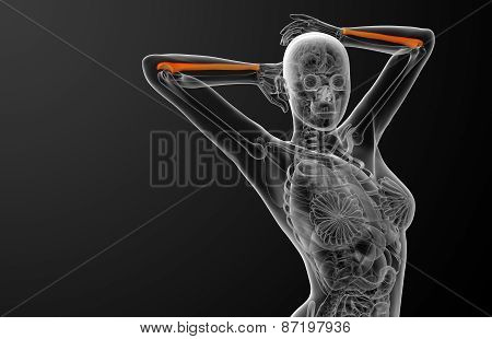 3D Render Medical Illustration Of The Ulna Bone