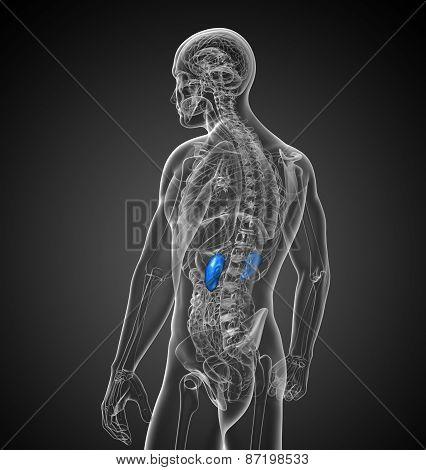 3D Render Medical Illustration Of The Kidneys