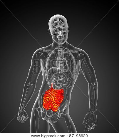 3D Rendered Illustration Of The Male Small Intestine
