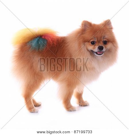 Brown Pomeranian Dog Grooming Colorful Tail Isolated On White Background, Cute Pet In Home