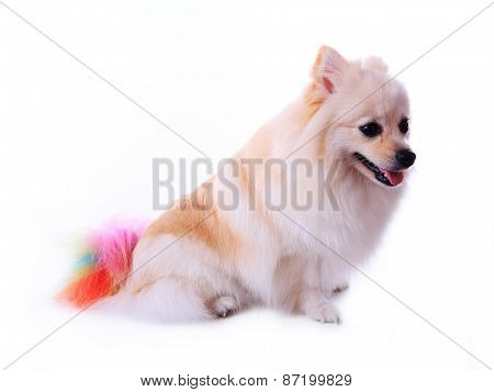 White Pomeranian Dog Grooming Colorful Tail Isolated On White Background, Cute Pet In Home