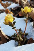 pic of primrose  - primrose yellow on the background of last year - JPG