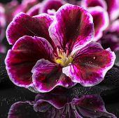 image of geranium  - beautiful spa background of geranium flower with drops in reflection water Royal Pelargonium closeup - JPG