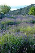 pic of lavender field  - Lavender field on a Hvar island Croatia - JPG