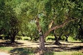 pic of olive trees  - Olive Trees - JPG