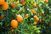stock photo of orange-tree  - Oranges hanging on a trees in orchard - JPG