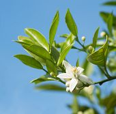 picture of orange blossom  - Twig of orange tree with blossom on sky background - JPG