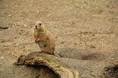 pic of prairie  - Image of Prairie dog standing up on old wood stump - JPG
