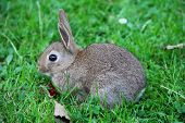 picture of wild-rabbit  - Cute gray wild baby rabbit in grass eating cherry - JPG