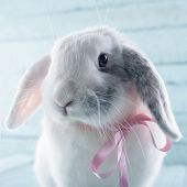 stock photo of bunny rabbit  - White soft bunny rabbit with pink ribbon and light blue background - JPG