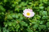 image of wild-brier  - Flower wild rose on a background of green foliage - JPG
