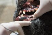 foto of gingivitis  - The vet is showing gingivitis in the open mouth of the Big Black Schnauzer dog under anesthesia - JPG