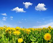 stock photo of dandelion  - Blooming dandelions in the meadow - JPG
