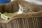 picture of stare  - Blue eyed cat sitting in a basket is poking his head up giving the stare - JPG