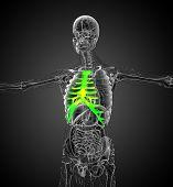 picture of sternum  - 3d render medical illustration of the sternum and cartilage  - JPG
