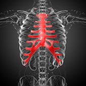 pic of sternum  - 3d render medical illustration of the sternum and cartilage  - JPG